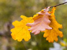 秋天橡木叶子计算黄褐色在被弄脏的森林背景的一个分支特写镜头 免版税图库摄影
