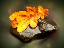 秋天橡木叶子 在石头的被捉住的腐烂的老橡木叶子在被弄脏的水中 免版税库存照片