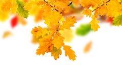 秋天橡木叶子 免版税图库摄影