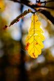 秋天橡木叶子- Eiche im Herbst 库存照片