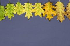 秋天橡木在季节的转折离开 库存照片