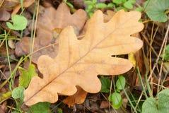 秋天橡木在狂放的叶子特写镜头 库存照片