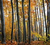秋天橡木森林 库存照片