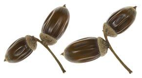 秋天橡木橡子 免版税库存图片