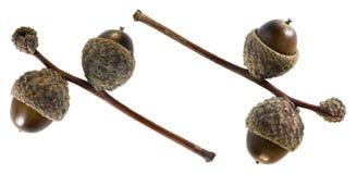 秋天橡木橡子 免版税图库摄影