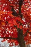 秋天橡木离开与树冰冷淡的晴朗的早晨 库存照片