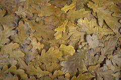 秋天橡木离开纹理 图库摄影