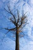 秋天橡木赤裸分支  库存照片
