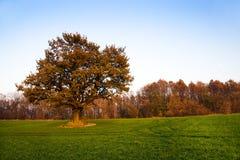 秋天橡木 库存照片