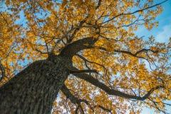 秋天橡木 免版税库存图片