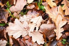 秋天橡树叶子在地面上说谎 免版税库存照片