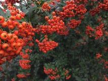 秋天欧洲花楸用红色莓果和五颜六色的叶子 选择聚焦 被获取的秋天美好的浆果分行包括早晨一个红色花揪总额 库存照片