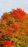 秋天正式褂子在我的槭树的 免版税库存图片