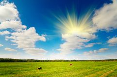 秋天母牛少许牧场地二 免版税库存图片