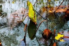 秋天池塘微风吹的莲花,挥动剩余电荷的摇摆在日落下 免版税库存图片