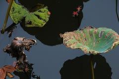 秋天池塘微风吹的莲花,挥动剩余电荷的摇摆在日落下 库存照片