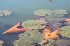 秋天池塘的绿色百合植物 免版税图库摄影