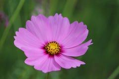 秋天波斯菊日本拍摄了粉红色 免版税库存照片