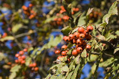 秋天浆果森林 免版税图库摄影