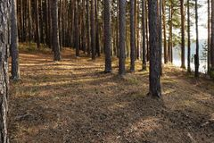 秋天湖的岸的杉木森林 免版税库存照片