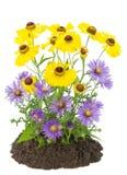 秋天灌木开花紫罗兰色黄色 库存图片