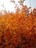 秋天灌木用桔子离开在阳光下 免版税库存照片