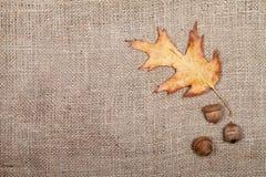 秋天烘干了橡木和三橡子叶子在麻袋布 免版税库存照片