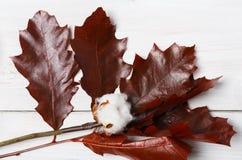 秋天烘干了赤栎叶子在白色木头,背景的 库存照片