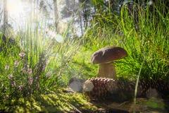 秋天牛肝菌蕈类蘑菇真菌森林草太阳光 免版税图库摄影