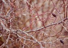 秋天狂放的玫瑰丛 图库摄影