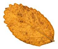 秋天狗玫瑰色植物黄色叶子的后部  图库摄影