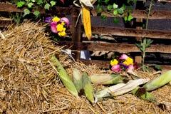 秋天玉米收获 图库摄影