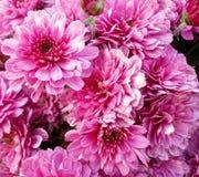 秋天玫瑰,颜色桃红色 库存图片