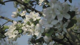 秋天瓣细节在春天题材的 苹果计算机开花花 股票视频