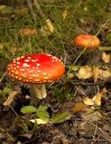秋天生叶场面伞菌结构树下 库存照片