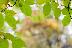 秋天生叶框架 图库摄影