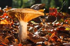 秋天生叶蘑菇 库存图片