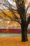 秋天留下槭树黄色 免版税库存图片