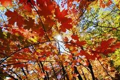 秋天留下槭树 免版税库存图片