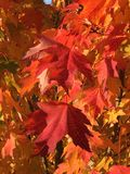 秋天留下槭树 免版税图库摄影