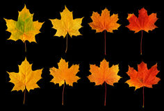 秋天留下槭树 库存照片