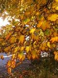 秋天留下橡木 免版税图库摄影