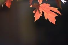 秋天留下红色 免版税图库摄影