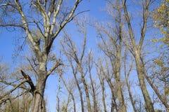 秋天白扬树流洒了他们的叶子 秋天本质上 图库摄影