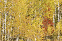 秋天白杨木和槭树 免版税库存图片
