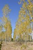 秋天白杨树 库存照片