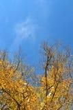秋天白杨树 图库摄影