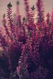 秋天白色和紫色石南花在早晨阳光下 免版税图库摄影