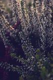 秋天白色和紫色石南花在早晨阳光下 免版税库存照片