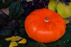 秋天的一个美丽的南瓜上色了叶子 生动的背景不同的假日 在它附近安置文字文本 库存照片